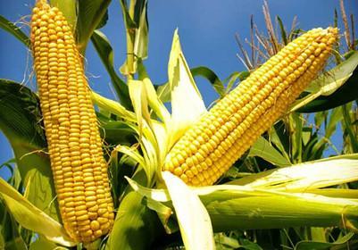Tips of installs corn oil processing line