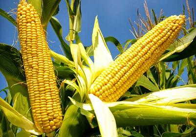 Secure Operation of Corn Oil Manufacturing Plant